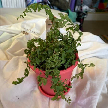 Photo of the plant species Brittle Maidenhair Fern by Lexthe_rex17 named Casper on Greg, the plant care app