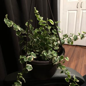Variegated Creeping Fig plant photo by Destinyyyy named Hazel on Greg, the plant care app.