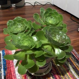 Tree Aeonium plant photo by Destinyyyy named Elsa on Greg, the plant care app.