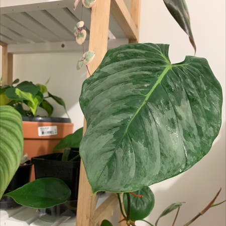 Photo of the plant species Philodendron sodiroi by Jojolim731 named Philodendron Sodiroi on Greg, the plant care app