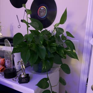 Golden Pothos plant photo by Miamelia24 named Lily on Greg, the plant care app.