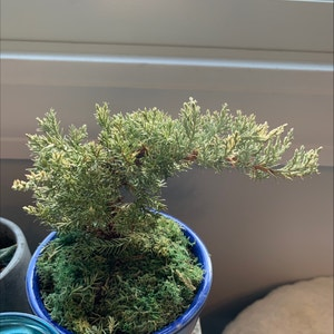 Blue Star Juniper plant photo by Charley named bonny on Greg, the plant care app.