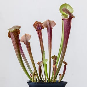 Yellow pitcher plant plant photo by Cjred named Pitchy on Greg, the plant care app.