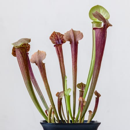 Photo of the plant species Yellow pitcher plant by Cjred named Pitchy on Greg, the plant care app