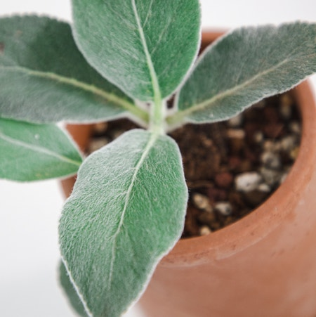 Photo of the plant species Brazilian Edelweiss by Cjred named Catnip on Greg, the plant care app