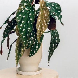Polka Dot Begonia plant photo by Cjred named Angel on Greg, the plant care app.