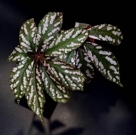 Photo of the plant species Begonia hemsleyana by Cjred named Hemmy on Greg, the plant care app