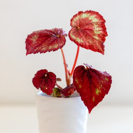 Photo of the plant species Begonia gracilis by Cjred named Tambourine on Greg, the plant care app