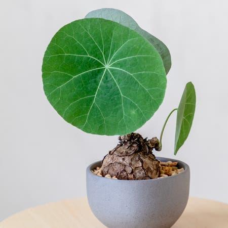 Photo of the plant species Stephania 'Nova' by Cjred named Nova on Greg, the plant care app