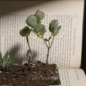 Silver Jade Plant plant photo by Addisoncampbell named Corliss on Greg, the plant care app.