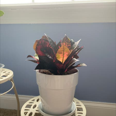 Photo of the plant species Croton 'Mrs Iceton' by Katetickle named Detroit on Greg, the plant care app