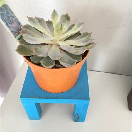 Photo of the plant species Echeveria 'Jasiri' by Jaedyn named peach on Greg, the plant care app