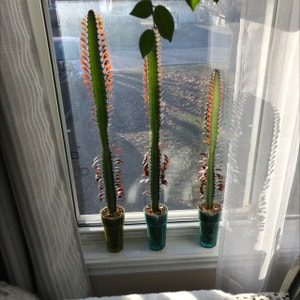African Milk Bush plant photo by User3022 named African milk tree (Euphorbia Trigona Rubra) on Greg, the plant care app.
