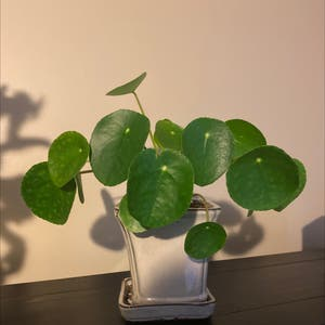 Chinese Money Plant plant photo by Madison named Pond on Greg, the plant care app.
