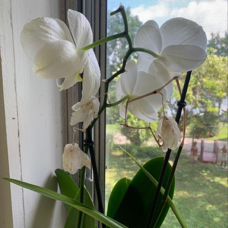 Phalaenopsis orchid plant in North Salem, New York