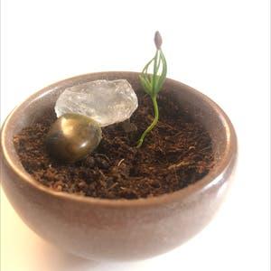 Fukien Tea Bonsai plant photo by Rehabbhabie named Bonsai Boris on Greg, the plant care app.