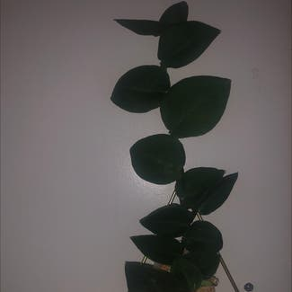 Rhaphidophora hayi plant in Detroit, Michigan