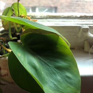 Heartleaf philodendron plant in Detroit, Michigan