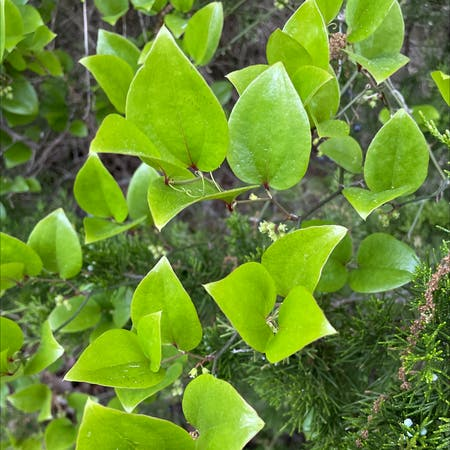 Photo of the plant species Common greenbrier by Katie named Your plant on Greg, the plant care app