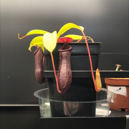 Photo of the plant species Nepenthes 'Bill Bailey' by Steph named Clinton on Greg, the plant care app