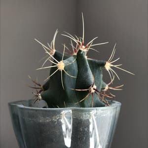 Monk's Hood Cactus plant photo by Nostalg.iia named Architect on Greg, the plant care app.