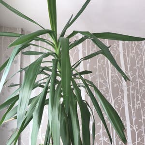 Rating of the plant Blue-Stem Yucca named Patrick by Nostalg.iia on Greg, the plant care app
