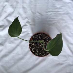 Rating of the plant Monstera named Athusia by Nostalg.iia on Greg, the plant care app