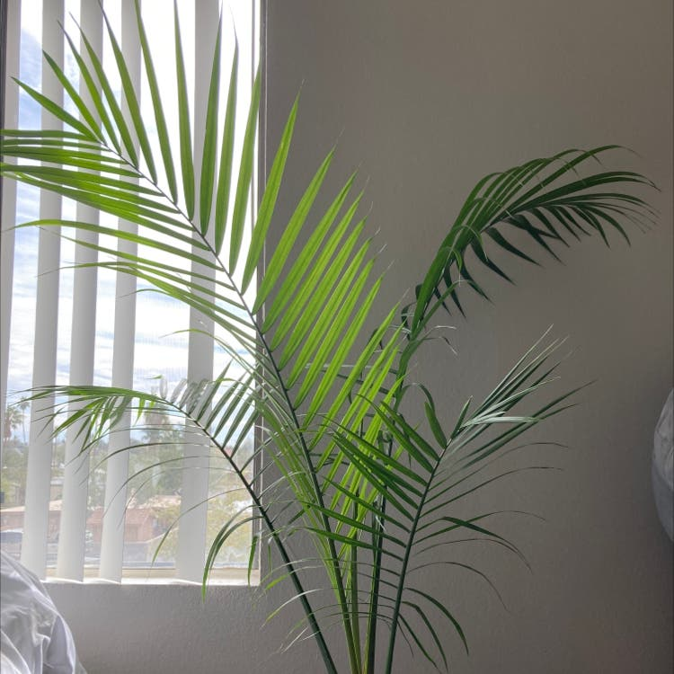 Majesty Palm plant in Somewhere on Earth