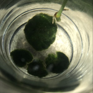 Marimo plant photo by Lucia named mochi on Greg, the plant care app.