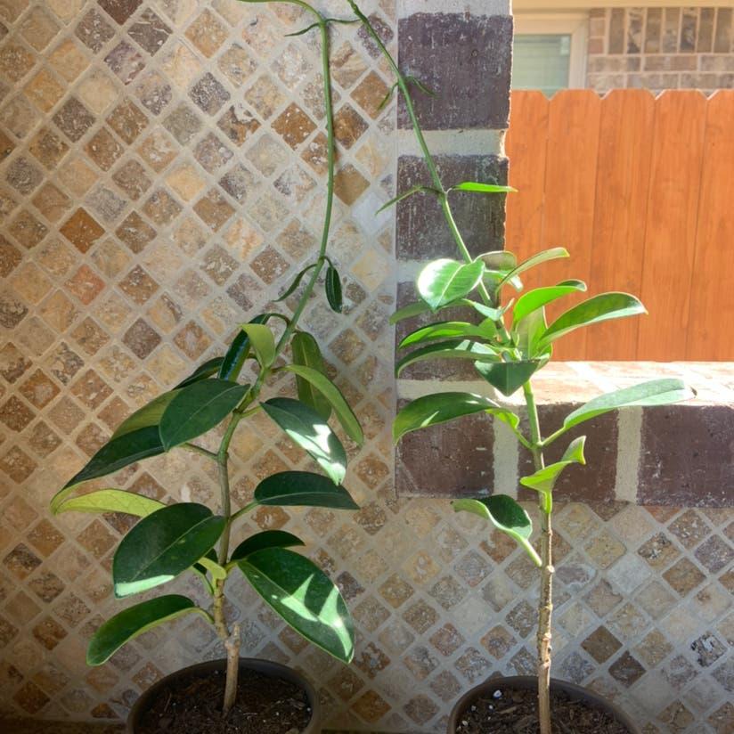 Stephanotis plant in Katy, Texas