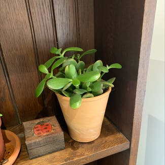 Jade plant in Shillington, England