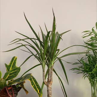 Dragon tree plant in Shillington, England