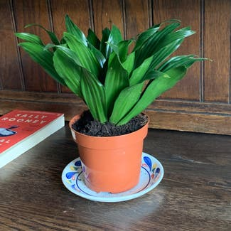 Cornstalk Dracaena plant in Shillington, England