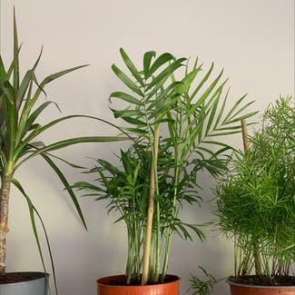 Parlour Palm plant in Shillington, England