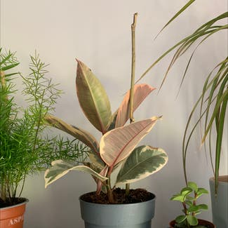 Rubber Plant plant in Shillington, England