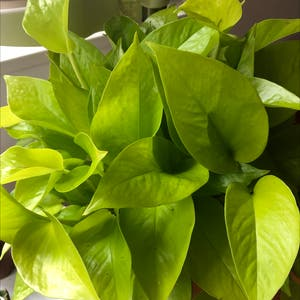 Rating of the plant Neon Pothos named Neo by Agatha on Greg, the plant care app