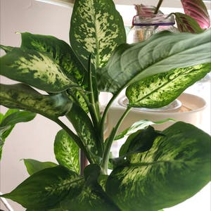 Dieffenbachia 'Compacta' plant photo by Agatha named Diffy on Greg, the plant care app.