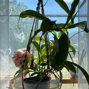 Tropical Pitcher Plant plant photo by Charlee named Tolkien on Greg, the plant care app.