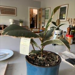 Rubber Plant plant