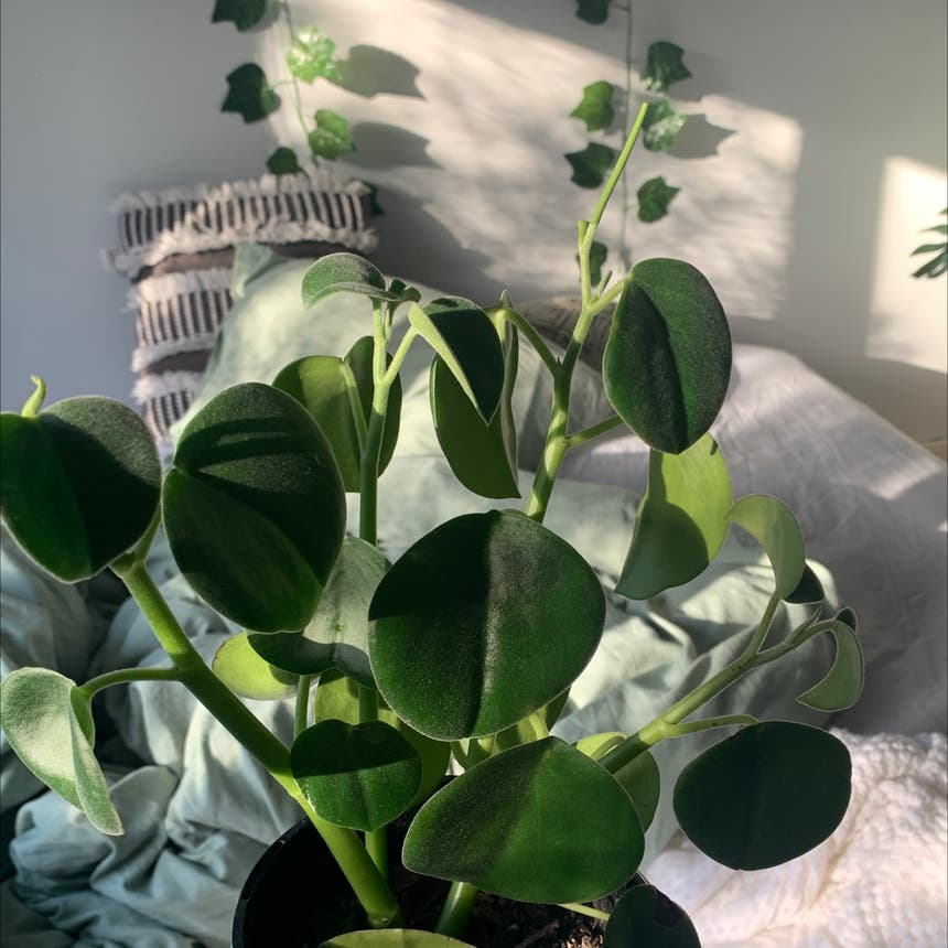 Felted Peperomia plant