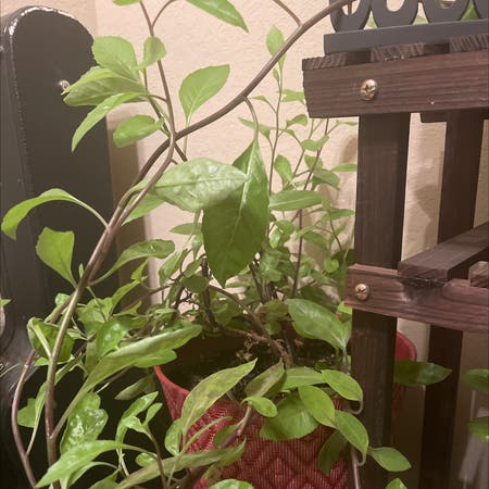 Photo of the plant species Longevity Spinach by Freeashley7 named Chen on Greg, the plant care app