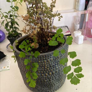 Maidenhair fern plant photo by Isabellamadden22 named Nemo on Greg, the plant care app.
