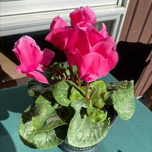Persian Cyclamen plant photo by Isabellamadden22 named Coral on Greg, the plant care app.