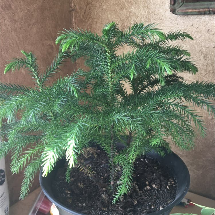 Norfolk Island Pine plant in Somewhere on Earth
