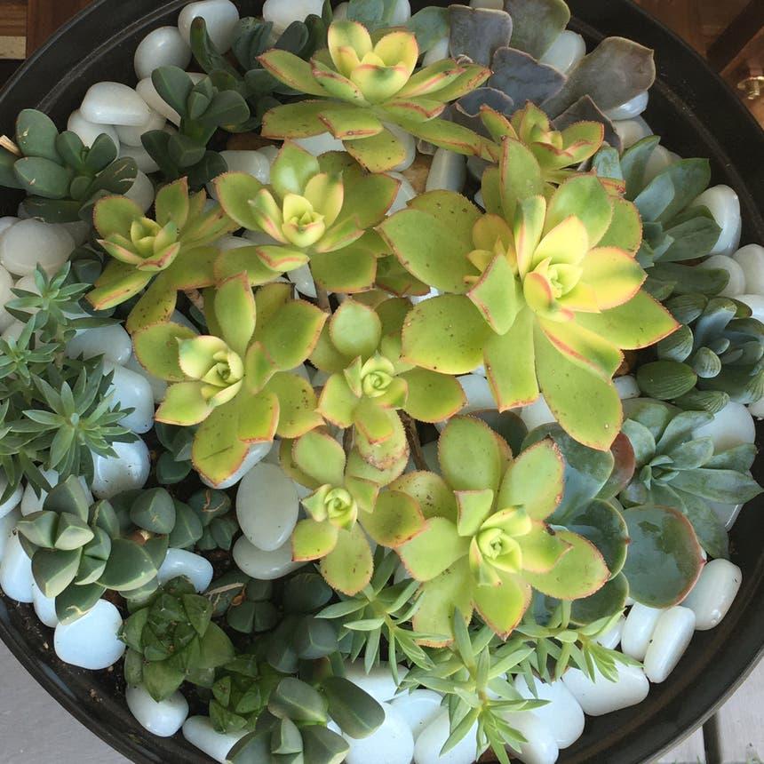 Kiwi Aeonium plant in Escondido, California
