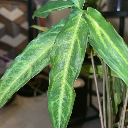 Photo of the plant species Syngonium steyermarkii by Mona named angus on Greg, the plant care app