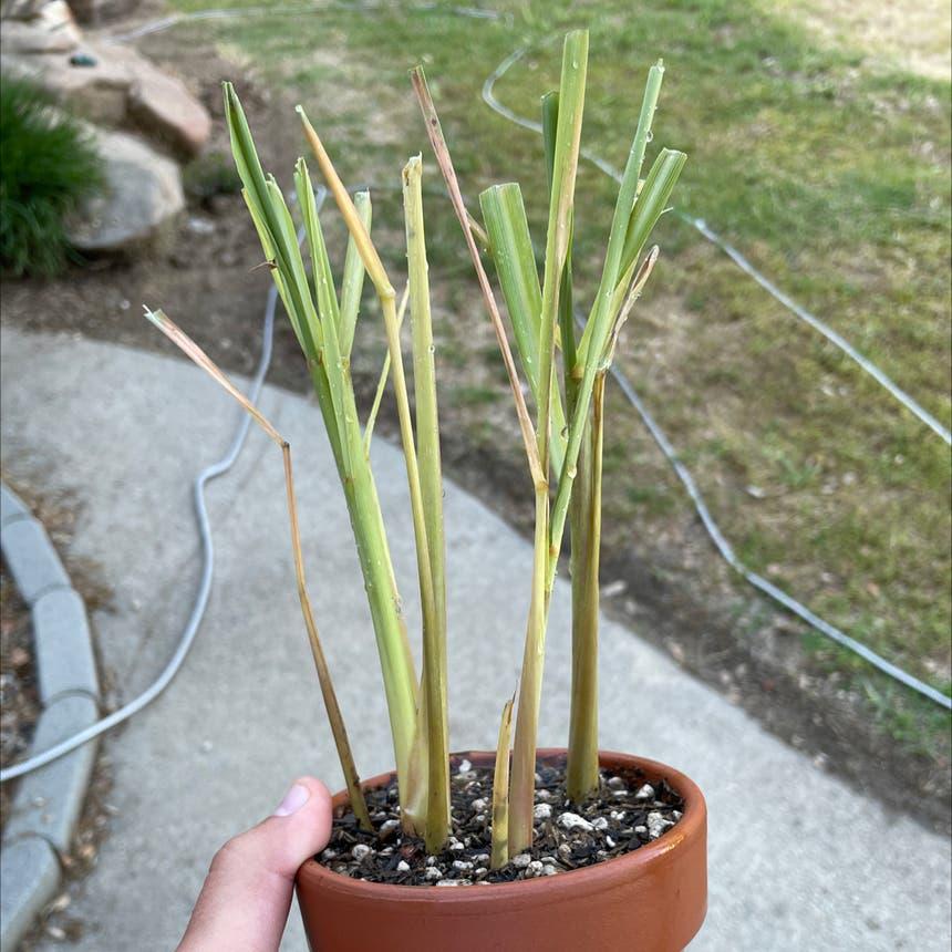 Lemon grass plant in Reedley, California