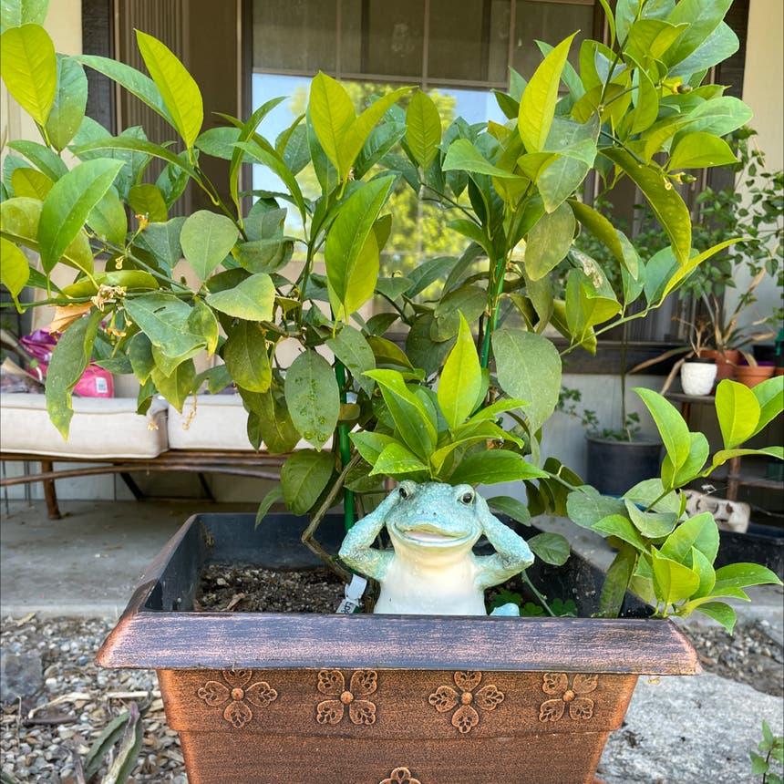 Meyer Lemon Tree plant in Reedley, California