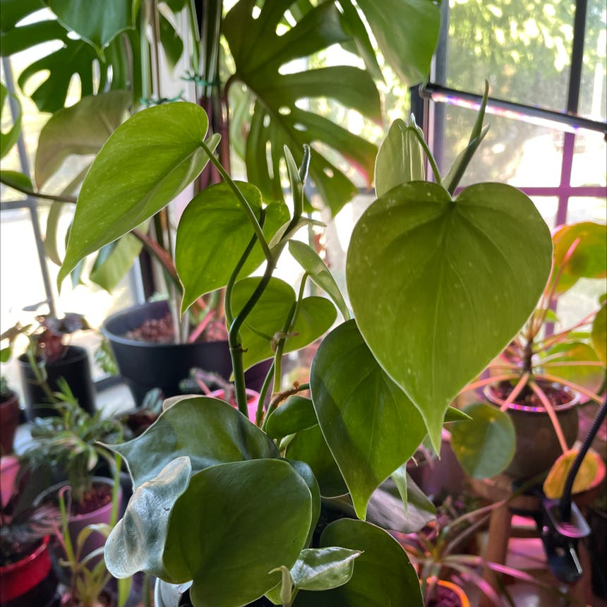 Heartleaf philodendron plant in Reedley, California