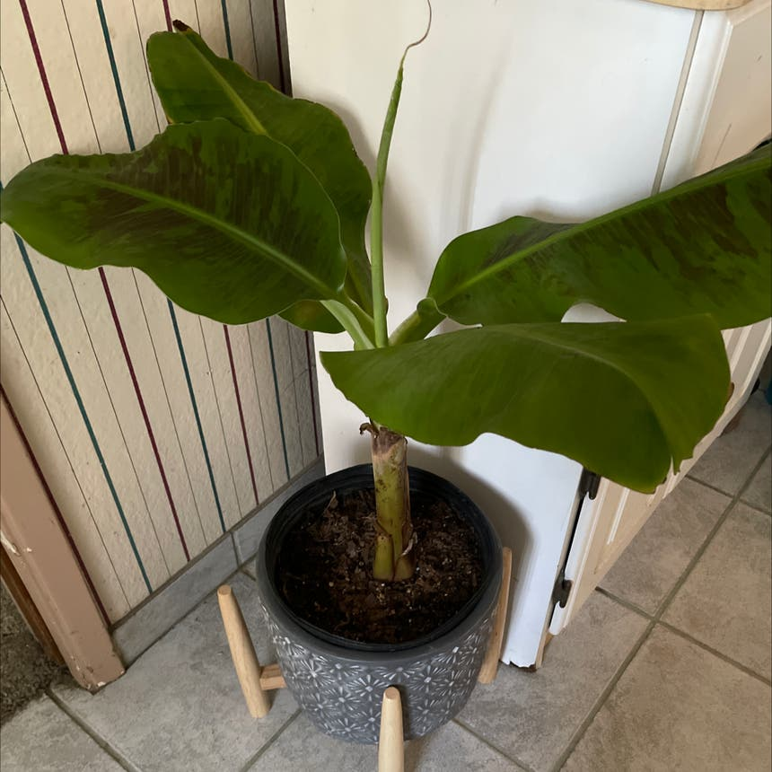 Banana plant in Reedley, California